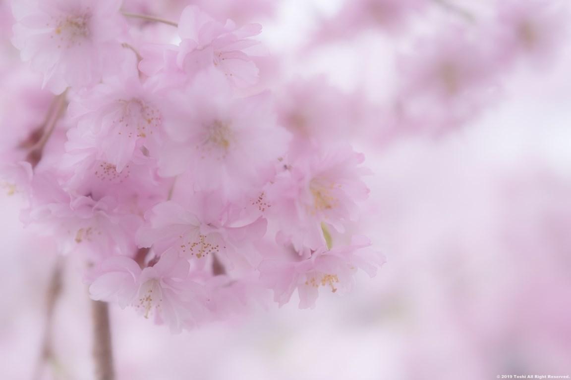宇陀 名残の桜_c0350572_13321309.jpg