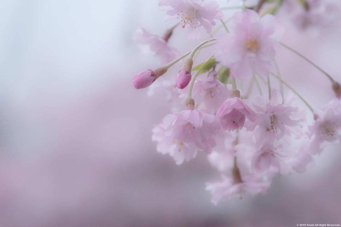 宇陀 名残の桜_c0350572_13321664.jpg