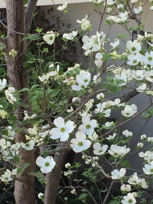 桜からハナミズキの季節に_a0125981_18400895.jpg