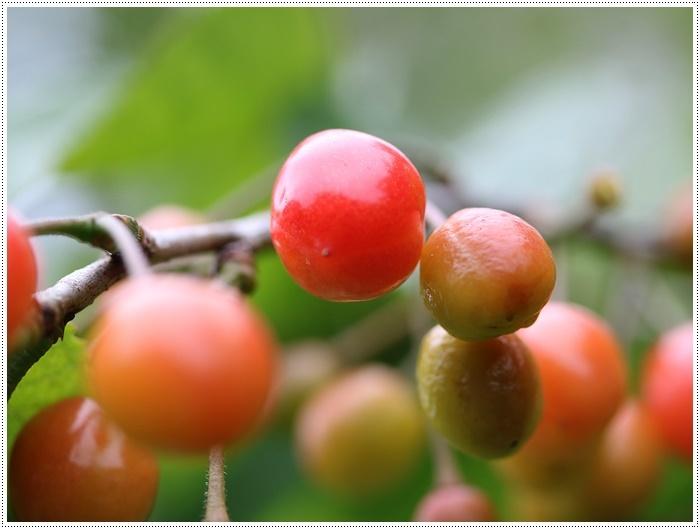 今年もさくらんぼの実が赤く色づいてきました、鳥に狙われなければ、たくさん収穫できそうです。_b0175688_20014834.jpg