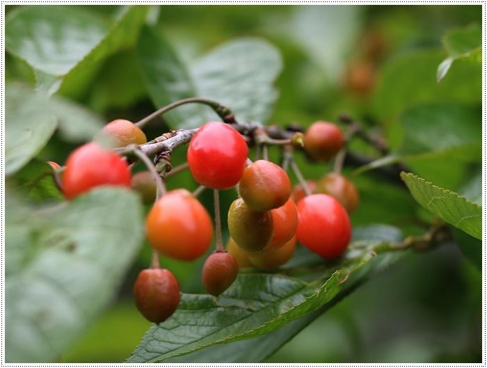 今年もさくらんぼの実が赤く色づいてきました、鳥に狙われなければ、たくさん収穫できそうです。_b0175688_20015576.jpg