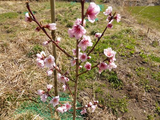 桃の栽培、芽生え_d0366590_18490951.jpg