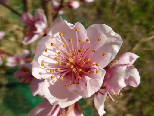 桃の栽培、芽生え_d0366590_18490970.jpg
