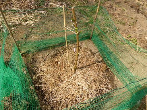 桃の栽培、芽生え_d0366590_19104367.jpg