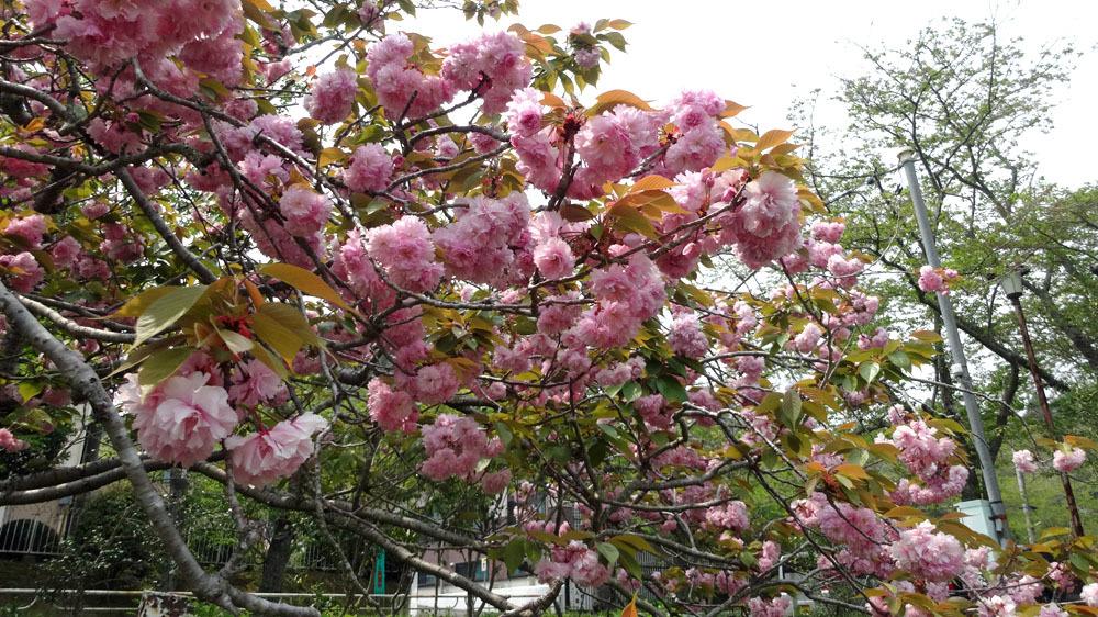 雨除の 傘さして咲く 牡丹かな_b0114798_15330008.jpg