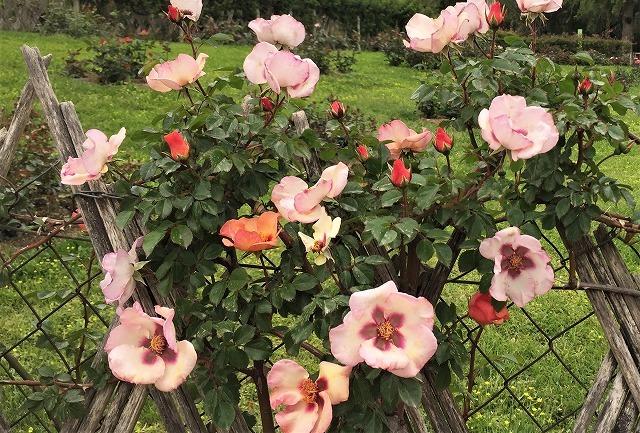 バラ公園の散策_b0064411_00530162.jpg