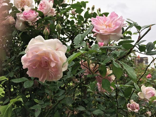 バラ公園の散策_b0064411_00593707.jpg