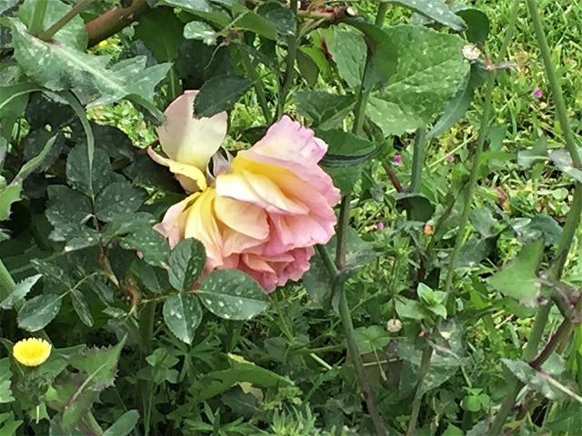バラ公園の散策_b0064411_00593844.jpg
