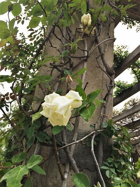 バラ公園の散策_b0064411_01015957.jpg