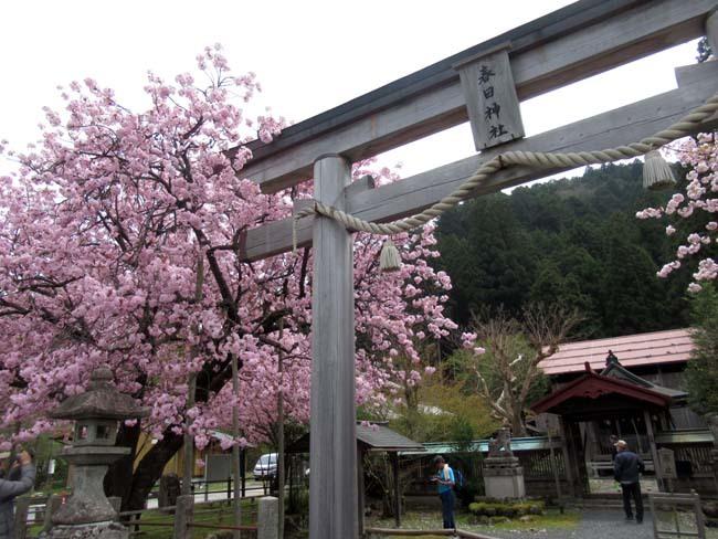 黒田の百年さくら_e0048413_18262713.jpg