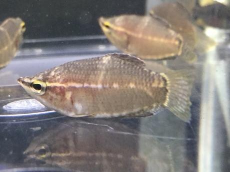 190425 熱帯魚 海水魚 金魚 めだか 水草_f0189122_15282651.jpeg