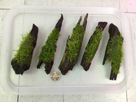 190425 熱帯魚 海水魚 金魚 めだか 水草_f0189122_15312119.jpeg