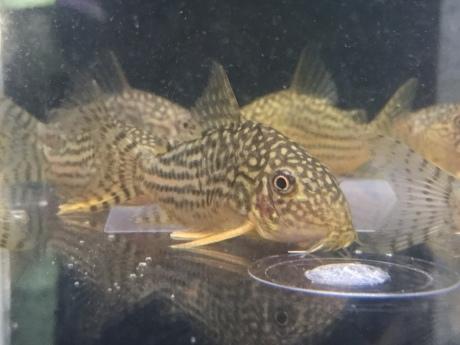 190425 熱帯魚 海水魚 金魚 めだか 水草_f0189122_15382037.jpeg