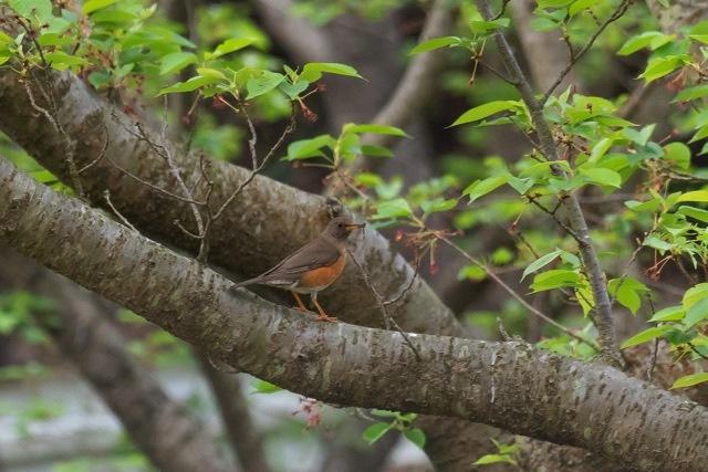 4/23 今日の早朝鳥見は一人で (4/24記)_a0080832_16415814.jpg