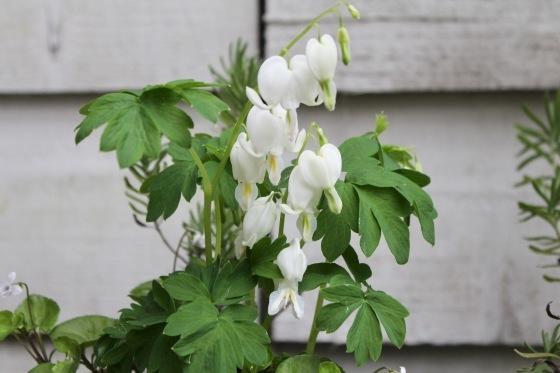 玄関の鉢植え_b0132338_12551302.jpeg