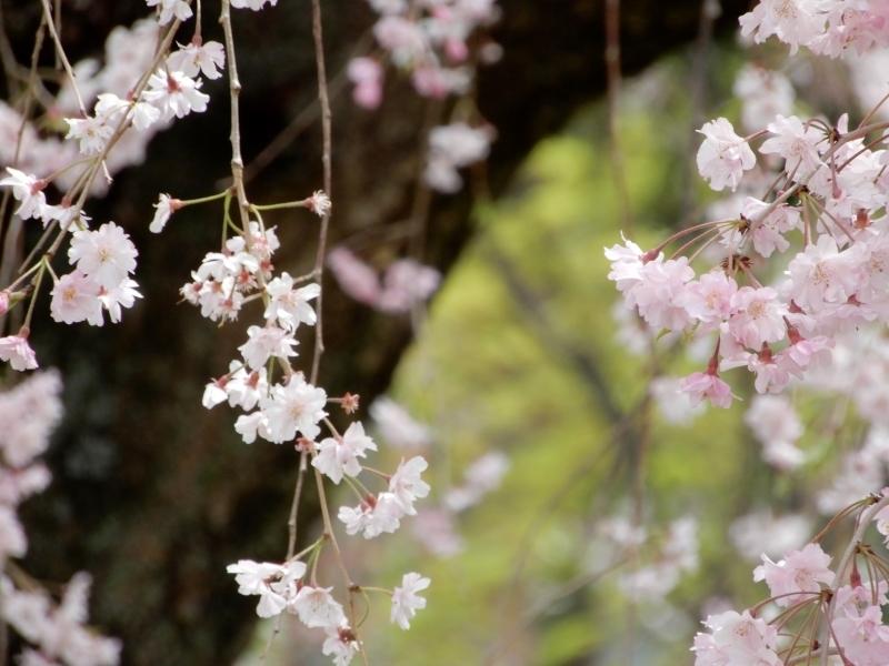 お花見で見るもの * flower viewing or people viewing_f0374041_05245145.jpg