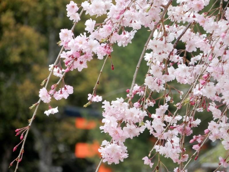 お花見で見るもの * flower viewing or people viewing_f0374041_06145064.jpg