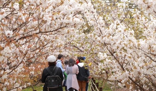 京都 遅咲きのおむろ桜 in 仁和寺(にんなじ)_e0227942_15262867.jpg