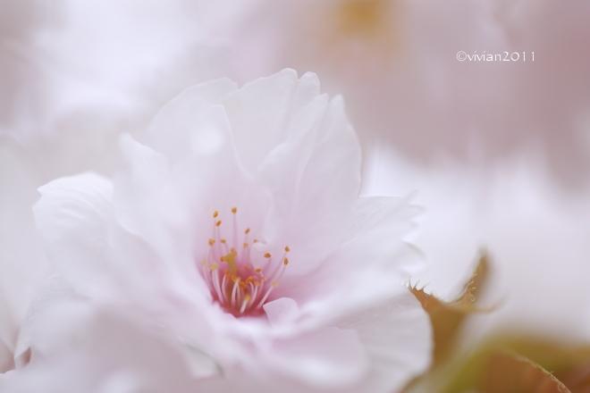 京都 遅咲きのおむろ桜 in 仁和寺(にんなじ)_e0227942_15280686.jpg