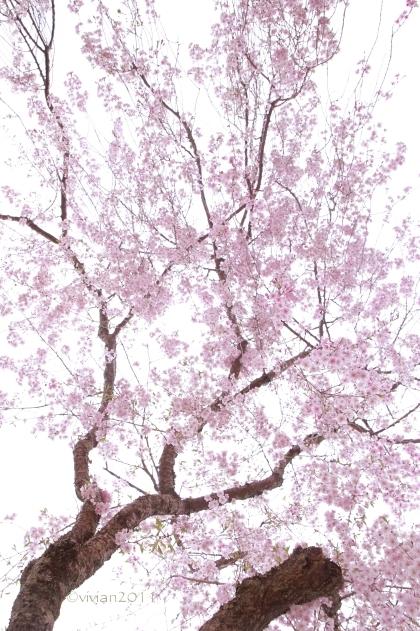 京都 遅咲きのおむろ桜 in 仁和寺(にんなじ)_e0227942_15295607.jpg