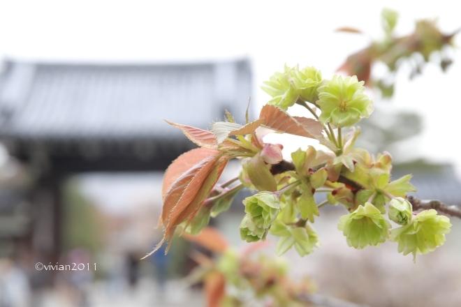 京都 遅咲きのおむろ桜 in 仁和寺(にんなじ)_e0227942_15311027.jpg