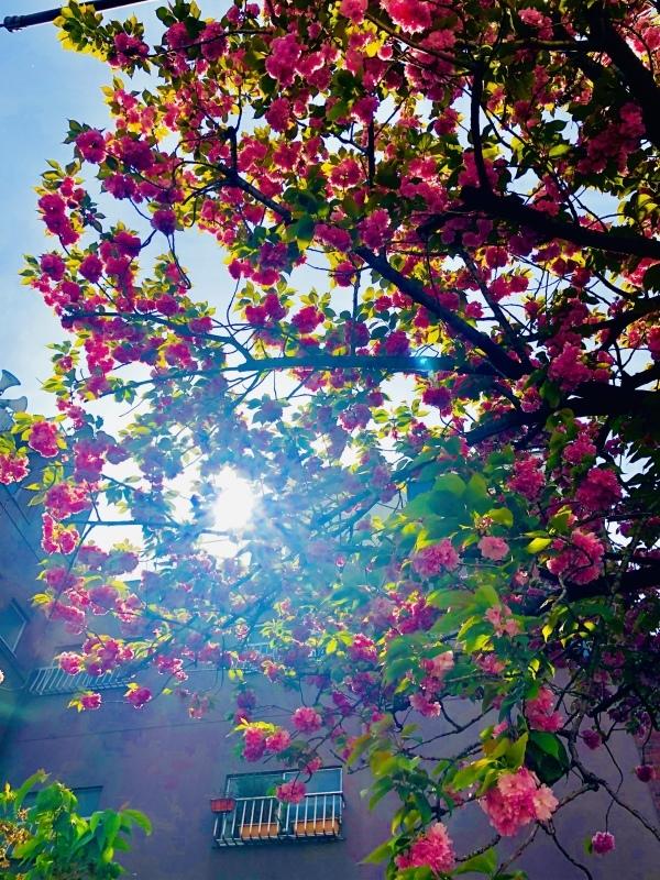 八重桜。散りはじめた。。。&4月25日(木)のランチメニュー_d0243849_14484594.jpeg