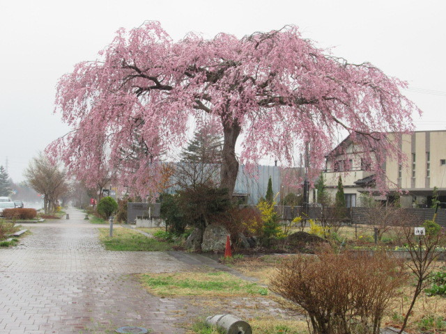 軽井沢の桜速報・2019 * ①プリンス通りの紅しだれ桜_f0236260_17293716.jpg