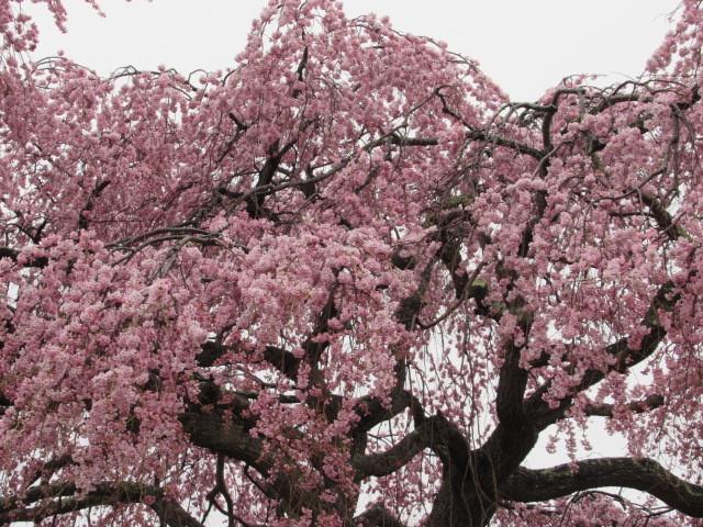 軽井沢の桜速報・2019 * ①プリンス通りの紅しだれ桜_f0236260_17302599.jpg