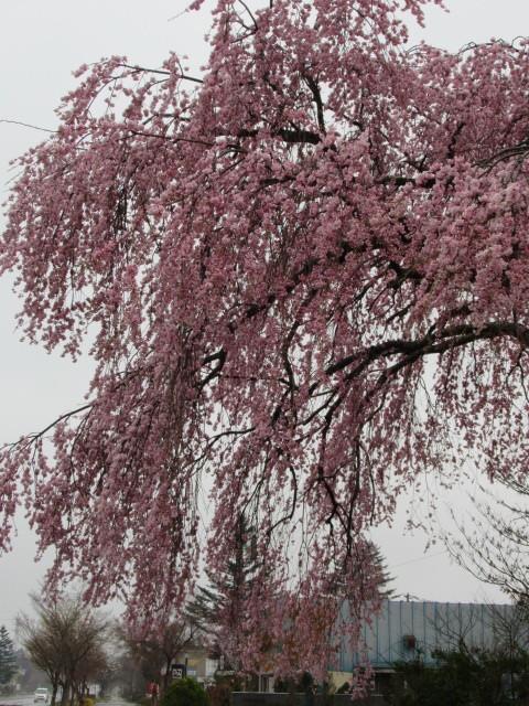 軽井沢の桜速報・2019 * ①プリンス通りの紅しだれ桜_f0236260_17305515.jpg