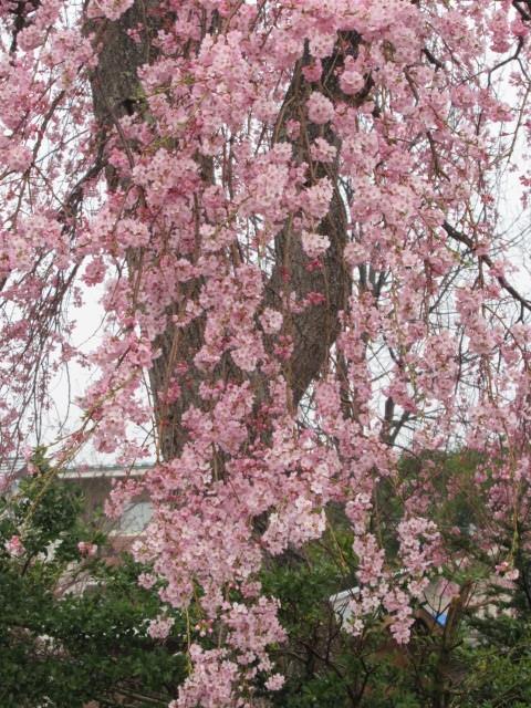 軽井沢の桜速報・2019 * ①プリンス通りの紅しだれ桜_f0236260_17315306.jpg