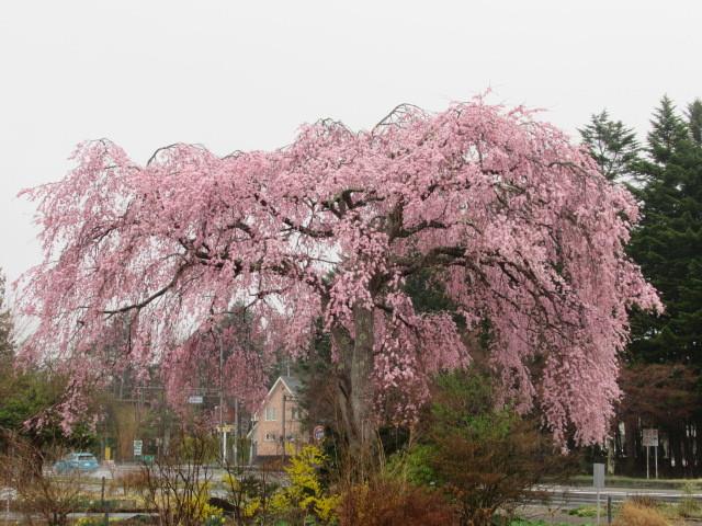 軽井沢の桜速報・2019 * ①プリンス通りの紅しだれ桜_f0236260_17342095.jpg