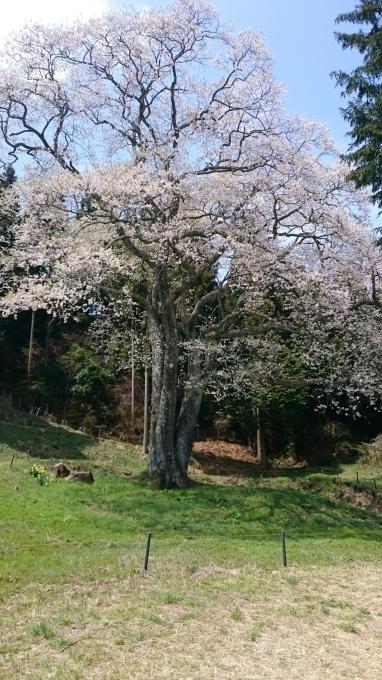 東城町の一本桜_c0325278_19034014.jpg