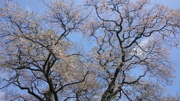 東城町の一本桜_c0325278_19051558.jpg
