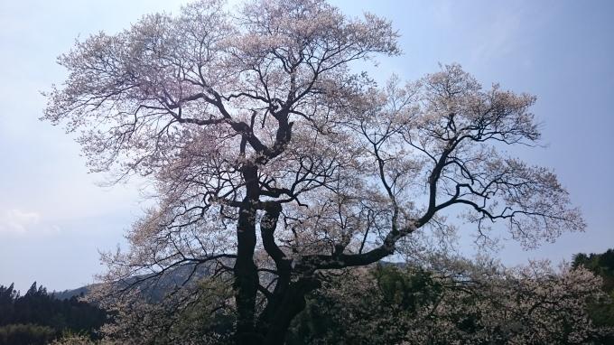 一本桜 小奴可の要害桜(おぬかのようがいザクラ)_c0325278_19264680.jpg