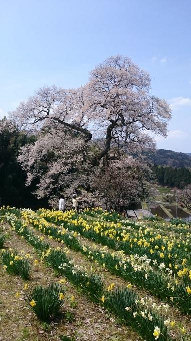 一本桜 小奴可の要害桜(おぬかのようがいザクラ)_c0325278_19271156.jpg