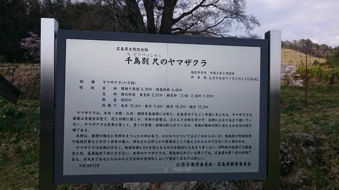 千鳥別尺のヤマザクラ_c0325278_19404948.jpg