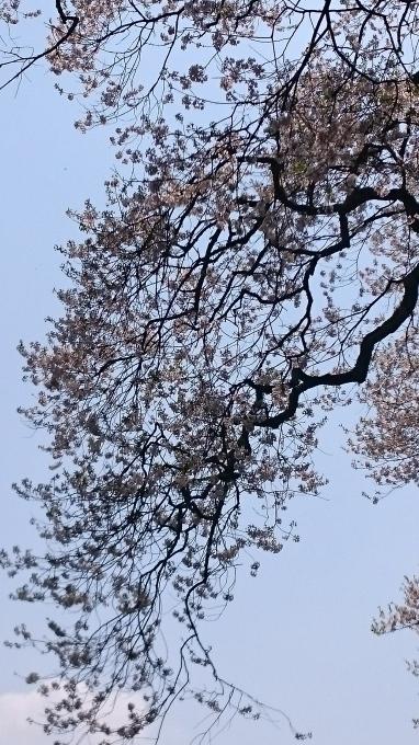 東城町の一本桜_c0325278_19474633.jpg