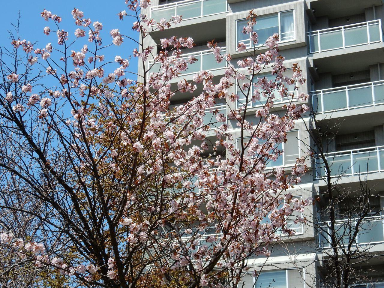 札幌にもサクラ_c0025115_22035295.jpg