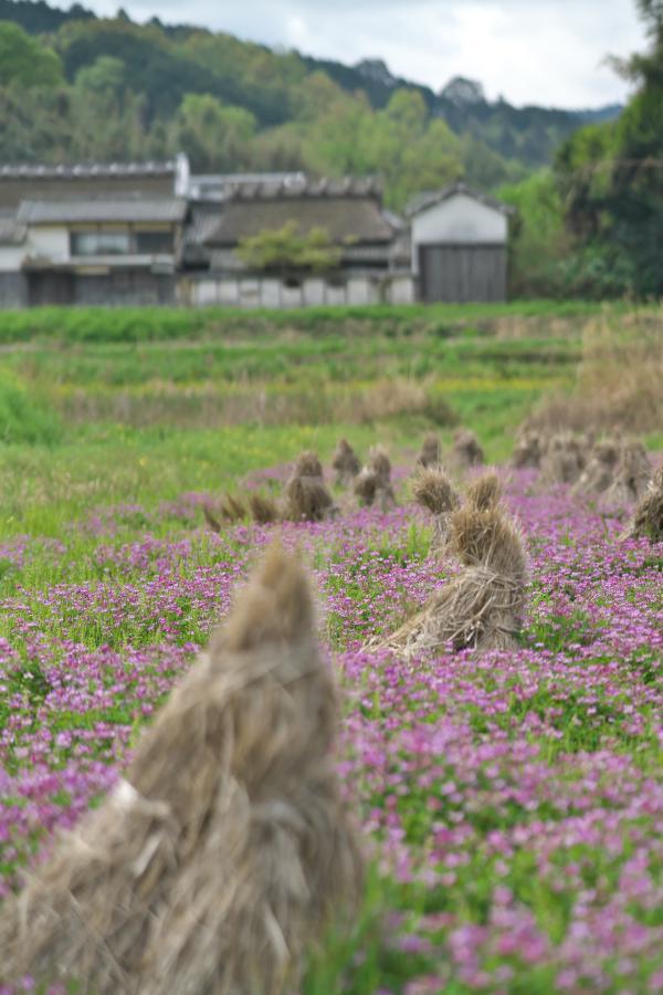 山田のレンゲ畑_b0408917_05013108.jpg
