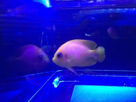 190425 熱帯魚 海水魚 金魚 めだか 水草_f0189122_13105188.jpeg