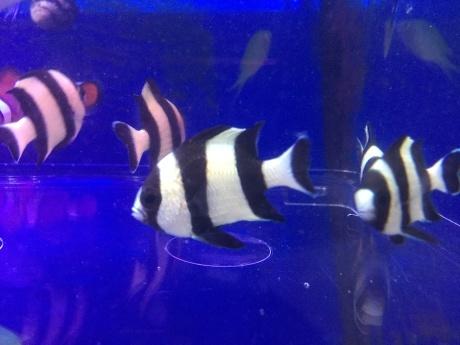 190425 熱帯魚 海水魚 金魚 めだか 水草_f0189122_13111575.jpeg