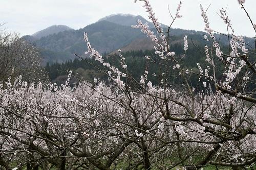 果樹園のお花見_c0299631_10091976.jpg