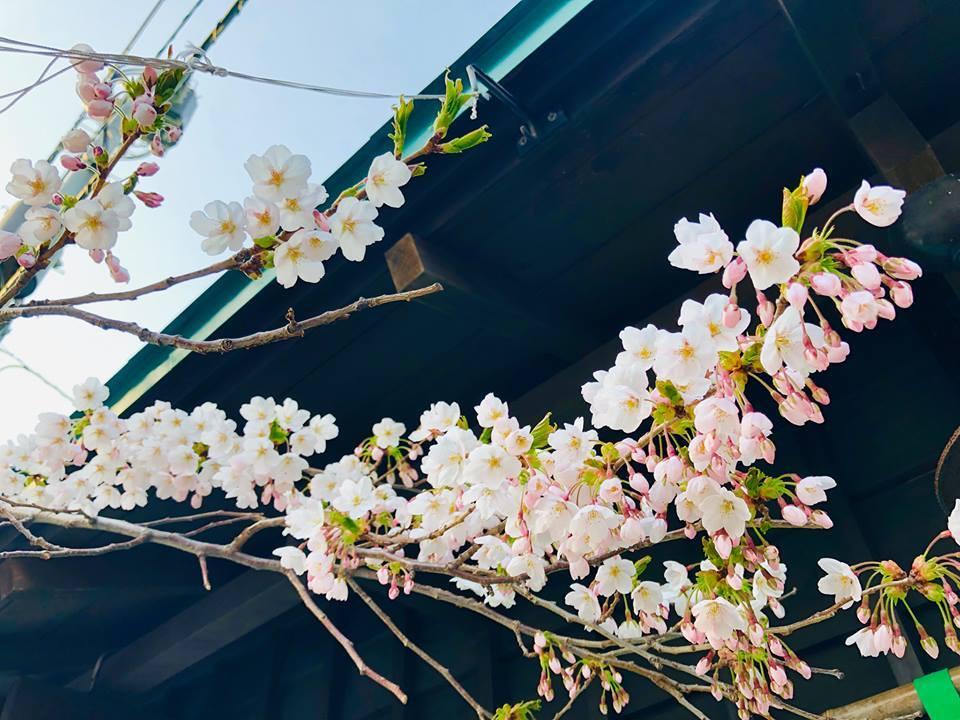 北の桜_a0103940_08401808.jpg