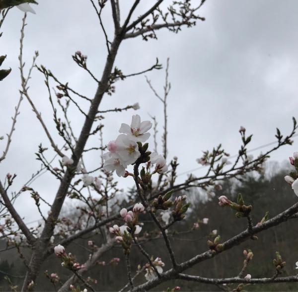 桜が咲きました_d0322040_23061937.jpg
