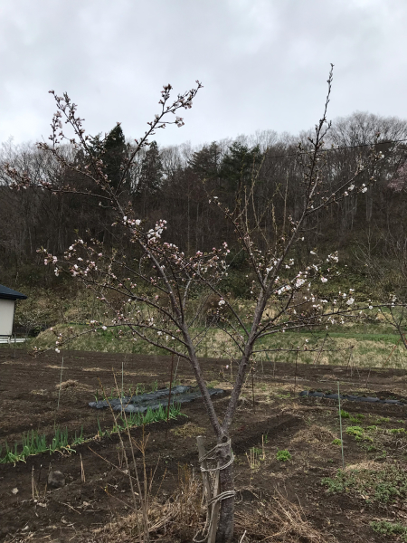 桜が咲きました_d0322040_23063657.jpg