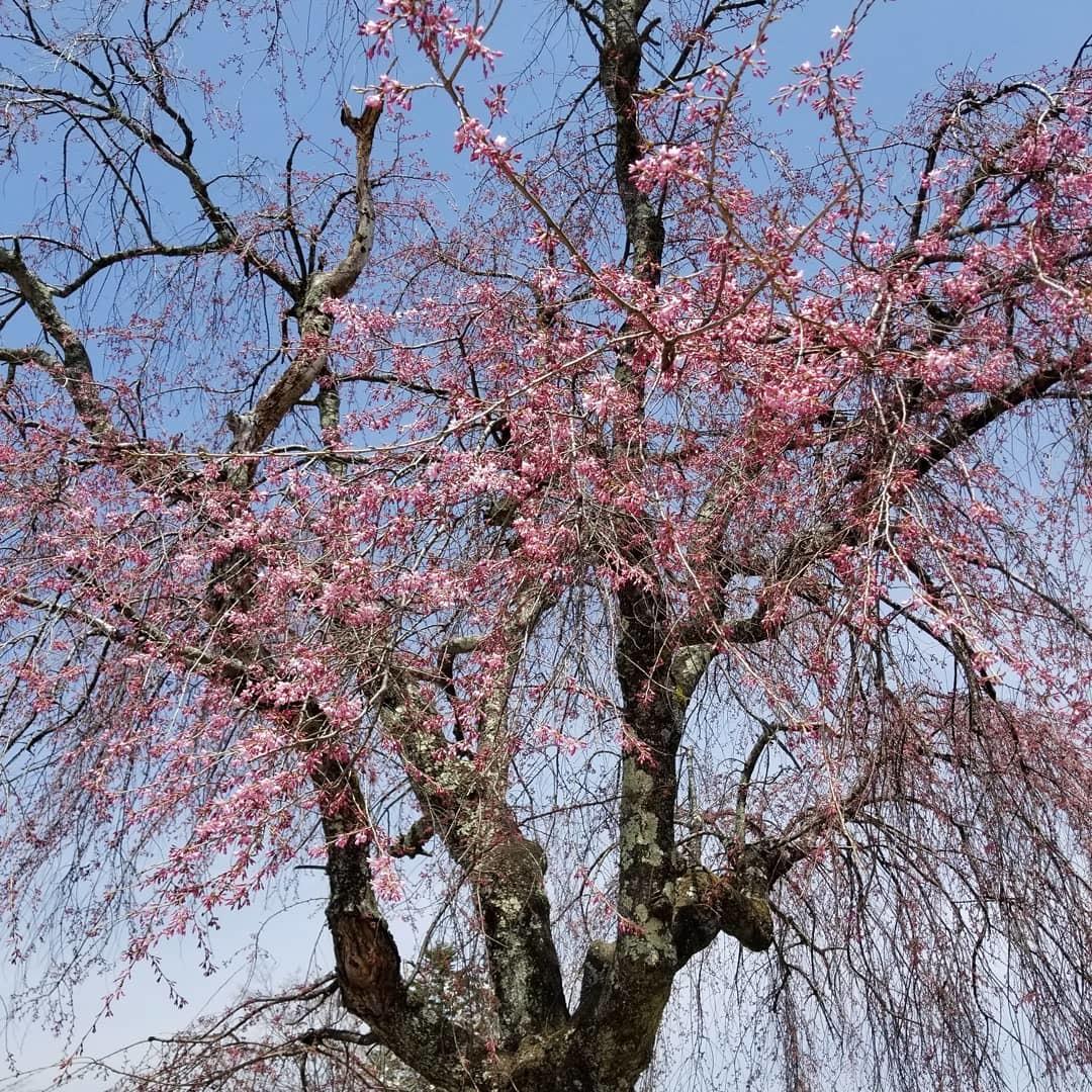軽井沢の桜速報・2019 * ①プリンス通りの紅しだれ桜_f0236260_00182817.jpg