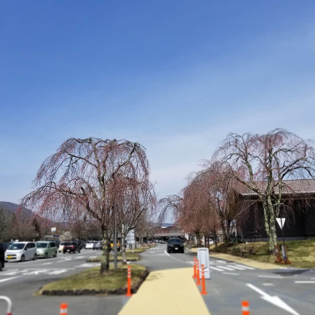 軽井沢の桜速報・2019 * ①プリンス通りの紅しだれ桜_f0236260_00183637.jpg