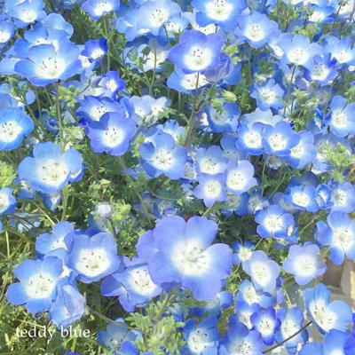 Nemophila blue ネモフィラブルー_e0253364_22080541.jpg
