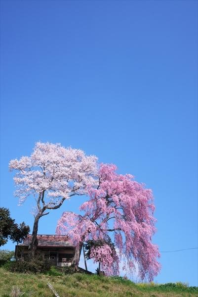 紅白夫婦桜_f0018464_06194938.jpg