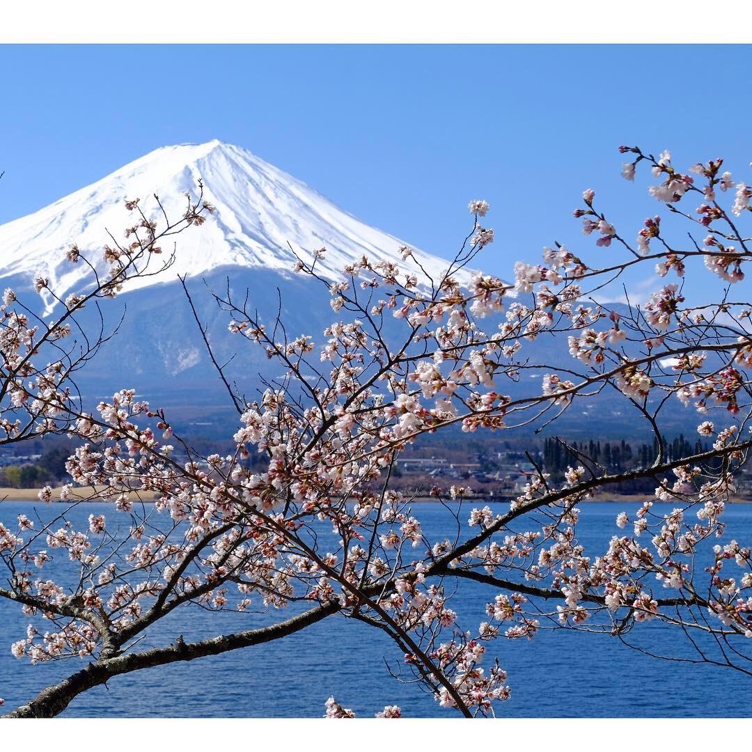 河口湖の桜_a0335867_13232814.jpeg
